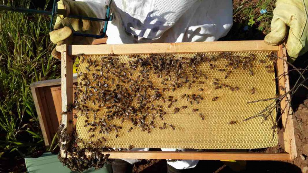 Bienen Waben NfH Projekt